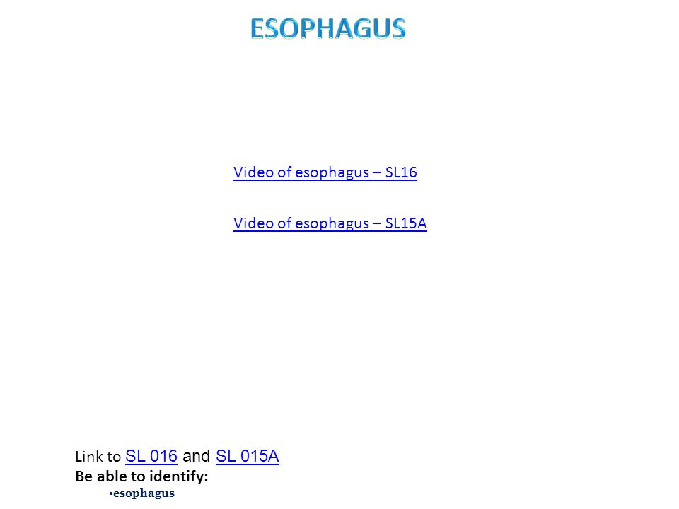 Video of esophagus – SL16 Link to SL 016 and SL 015A SL 016SL 015A Be able to identify: esophagus Video of esophagus – SL15A