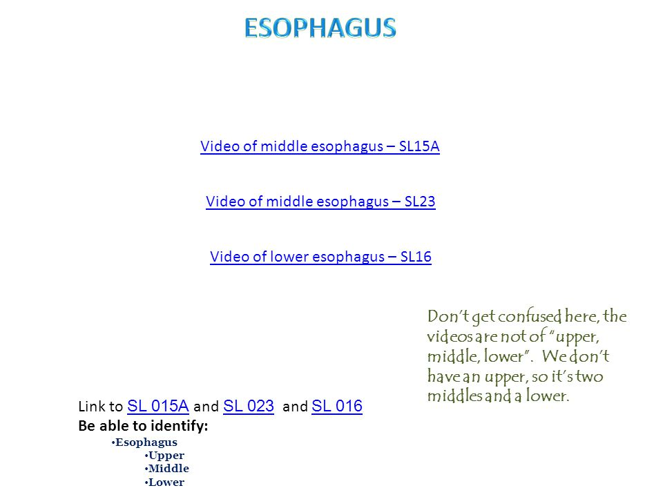 Video of lower esophagus – SL16 Link to SL 015A and SL 023 and SL 016 SL 015A SL 023 SL 016 Be able to identify: Esophagus Upper Middle Lower Video of middle esophagus – SL15A Video of middle esophagus – SL23 Don't get confused here, the videos are not of upper, middle, lower .