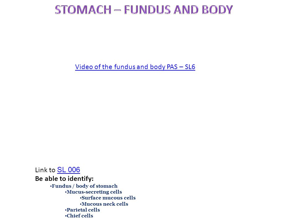 Link to SL 006 SL 006 Be able to identify: Fundus / body of stomach Mucus-secreting cells Surface mucous cells Mucous neck cells Parietal cells Chief cells Video of the fundus and body PAS – SL6