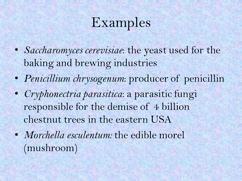 Examples Saccharomyces cerevisiae : the yeast used for the baking and brewing industries Penicillium chrysogenum : producer of penicillin Cryphonectria parasitica : a parasitic fungi responsible for the demise of 4 billion chestnut trees in the eastern USA Morchella esculentum: the edible morel (mushroom)