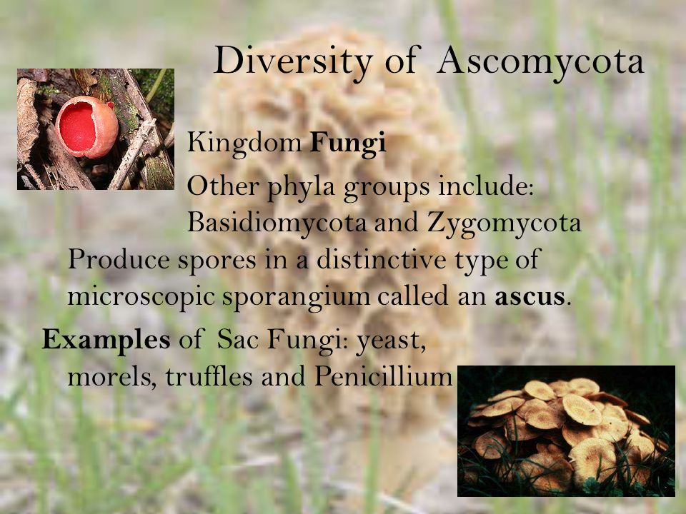 Diversity Kingdom Fungi Three classes: Basidiomycetes, Teliomycetes (rusts), and Ustomycetes (smuts) Four artificial classes: Hymenomycetes, Gasteromycetes, Urediniomycetes/Pucciniomycetes, and Ustilaginomycetes.