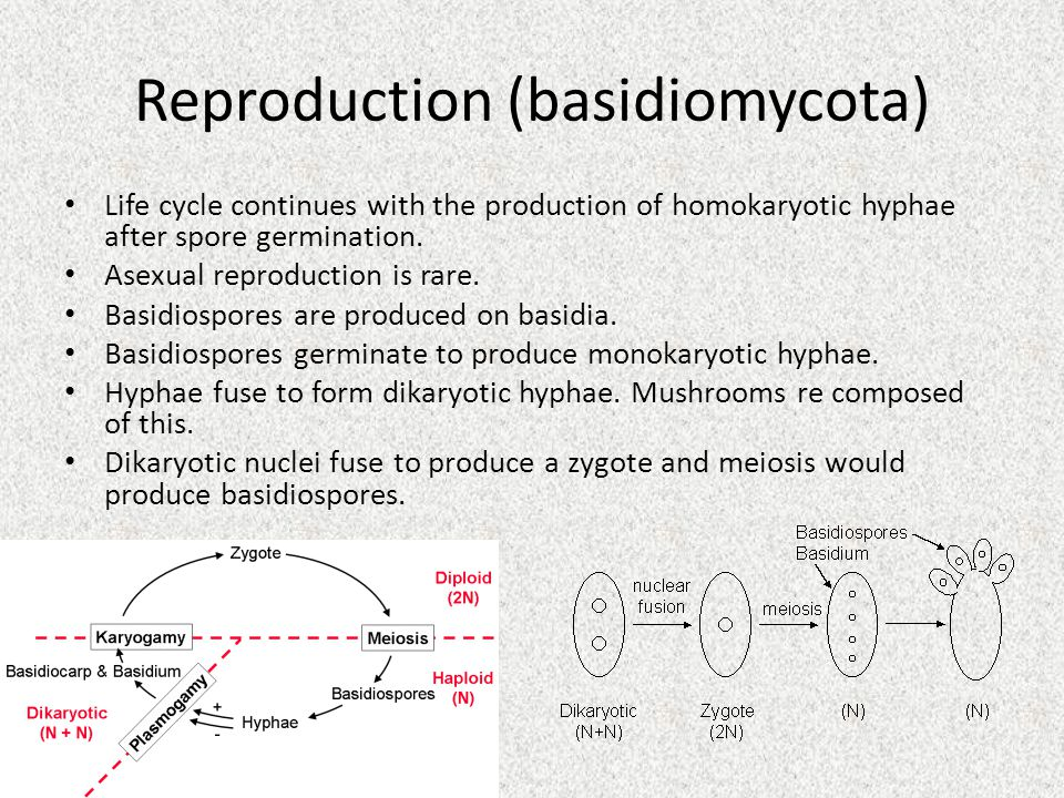 Reproduction (basidiomycota) Life cycle continues with the production of homokaryotic hyphae after spore germination.
