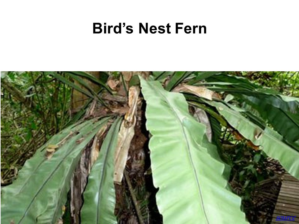 Bird's Nest Fern source