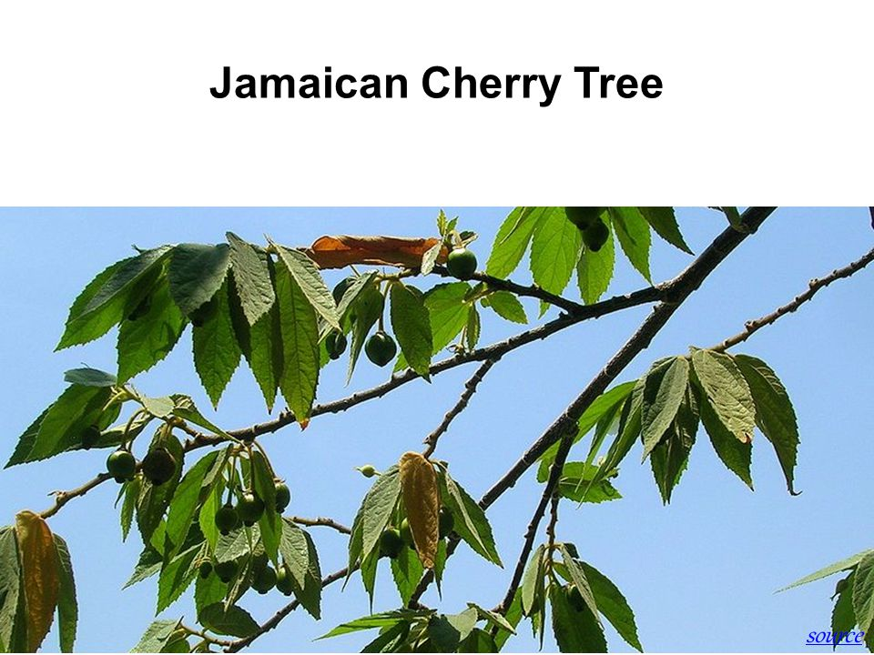 Jamaican Cherry Tree source