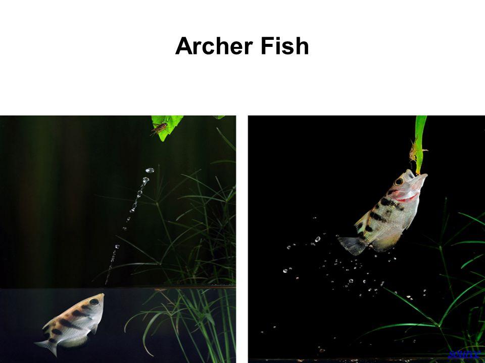 Archer Fish source