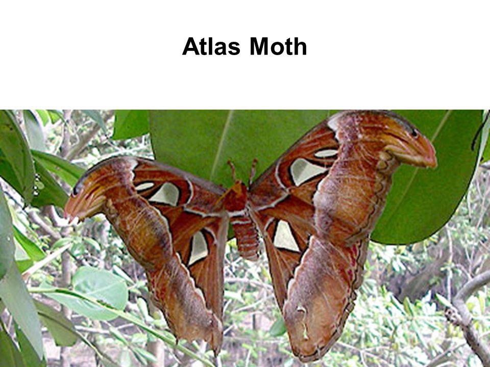 Atlas Moth source