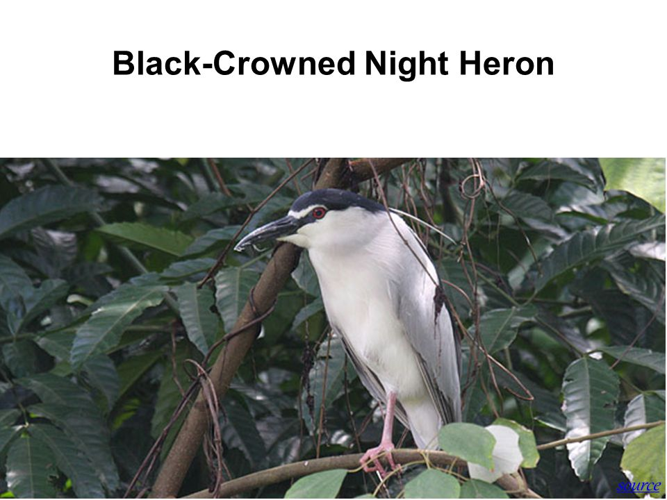 History of SBWR Black-Crowned Night Heron source