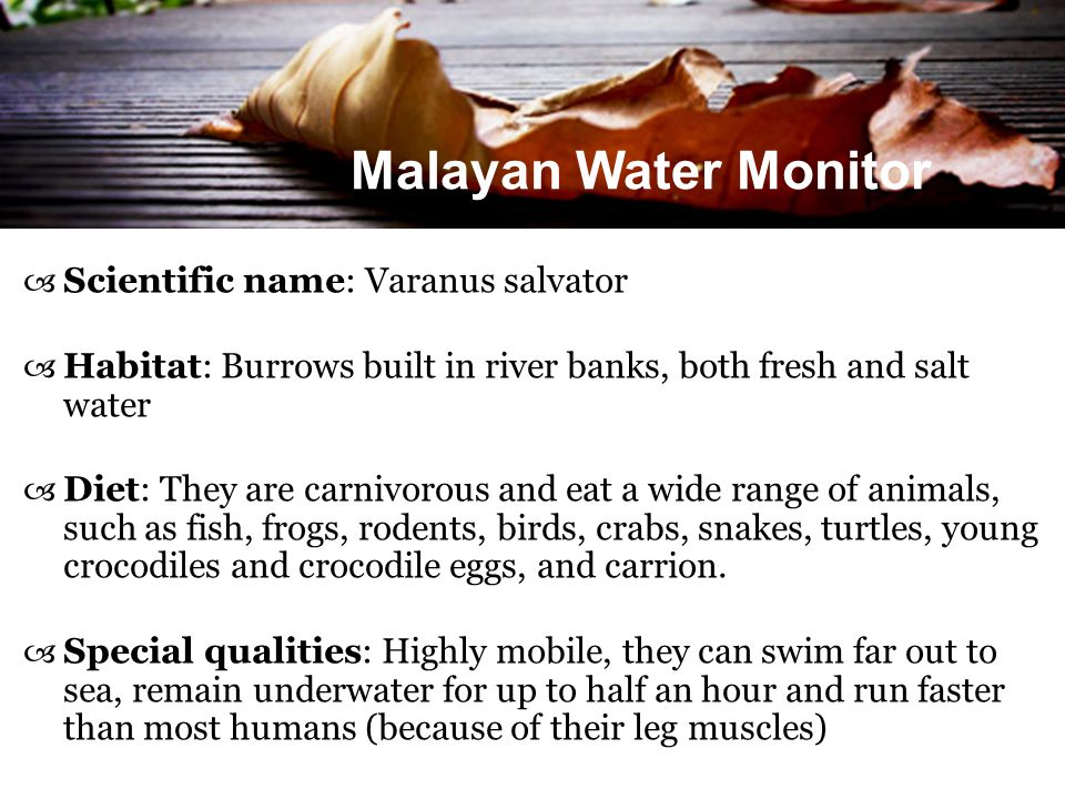 Malayan Water Monitor  Scientific name: Varanus salvator  Habitat: Burrows built in river banks, both fresh and salt water  Diet: They are carnivor