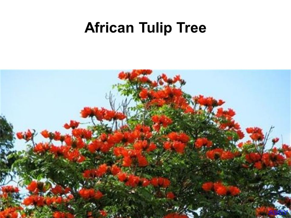 History of SBWR African Tulip Tree source