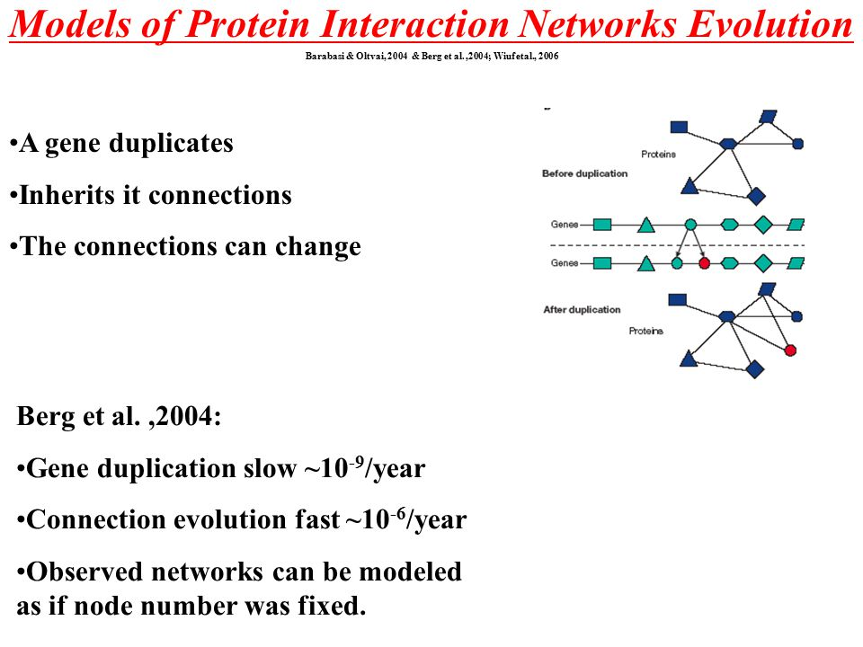 Models of Protein Interaction Networks Evolution Barabasi & Oltvai, 2004 & Berg et al.,2004; Wiuf etal., 2006 A gene duplicates Inherits it connections The connections can change Berg et al.,2004: Gene duplication slow ~10 -9 /year Connection evolution fast ~10 -6 /year Observed networks can be modeled as if node number was fixed.