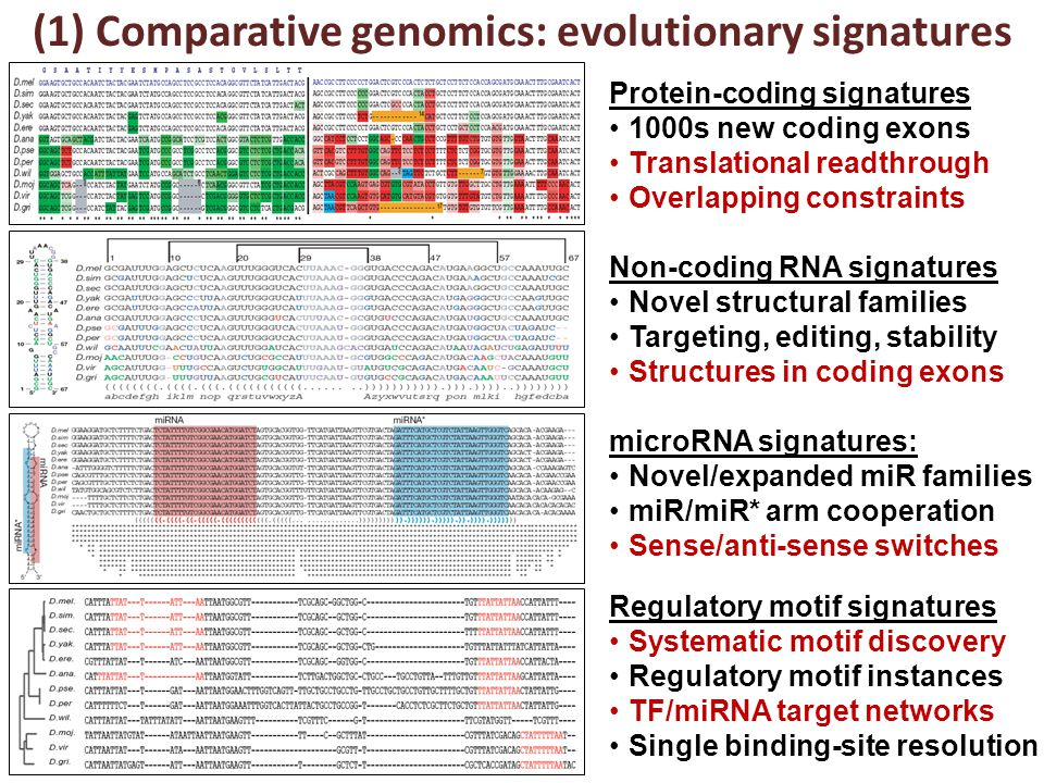 (1) Comparative genomics: evolutionary signatures Protein-coding signatures 1000s new coding exons Translational readthrough Overlapping constraints Non-coding RNA signatures Novel structural families Targeting, editing, stability Structures in coding exons microRNA signatures: Novel/expanded miR families miR/miR* arm cooperation Sense/anti-sense switches Regulatory motif signatures Systematic motif discovery Regulatory motif instances TF/miRNA target networks Single binding-site resolution