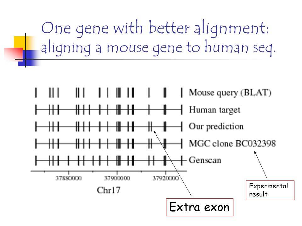 One gene with better alignment: aligning a mouse gene to human seq. Expermental result Extra exon