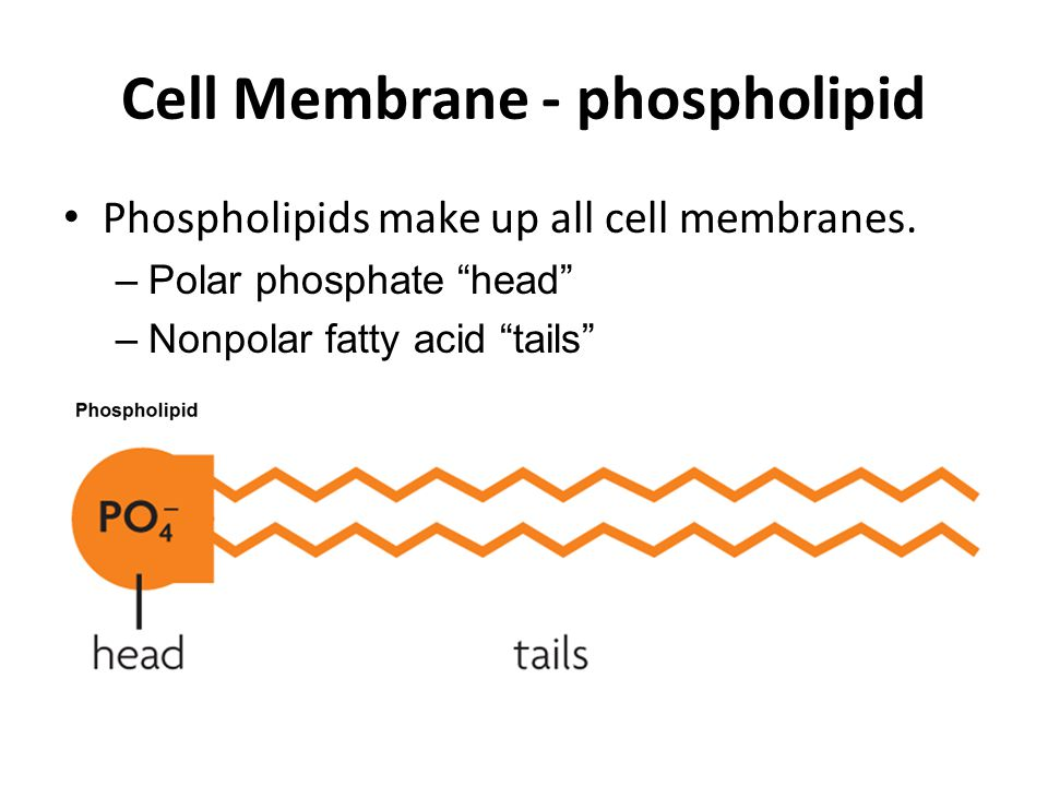 Cell Membrane - phospholipid Phospholipids make up all cell membranes.