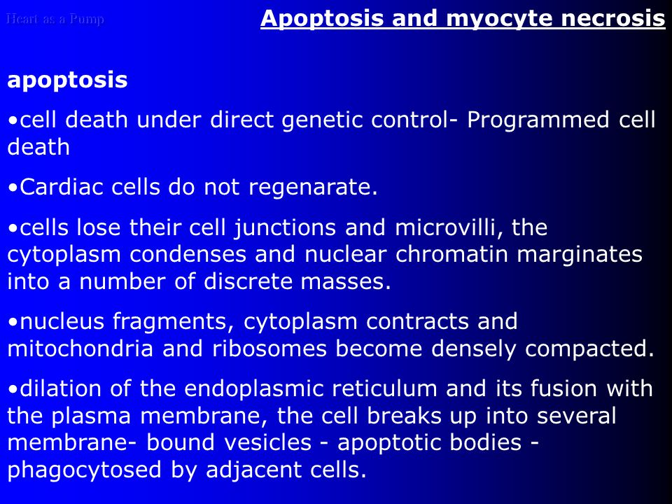 Apoptosis and myocyte necrosis apoptosis cell death under direct genetic control- Programmed cell death Cardiac cells do not regenarate.