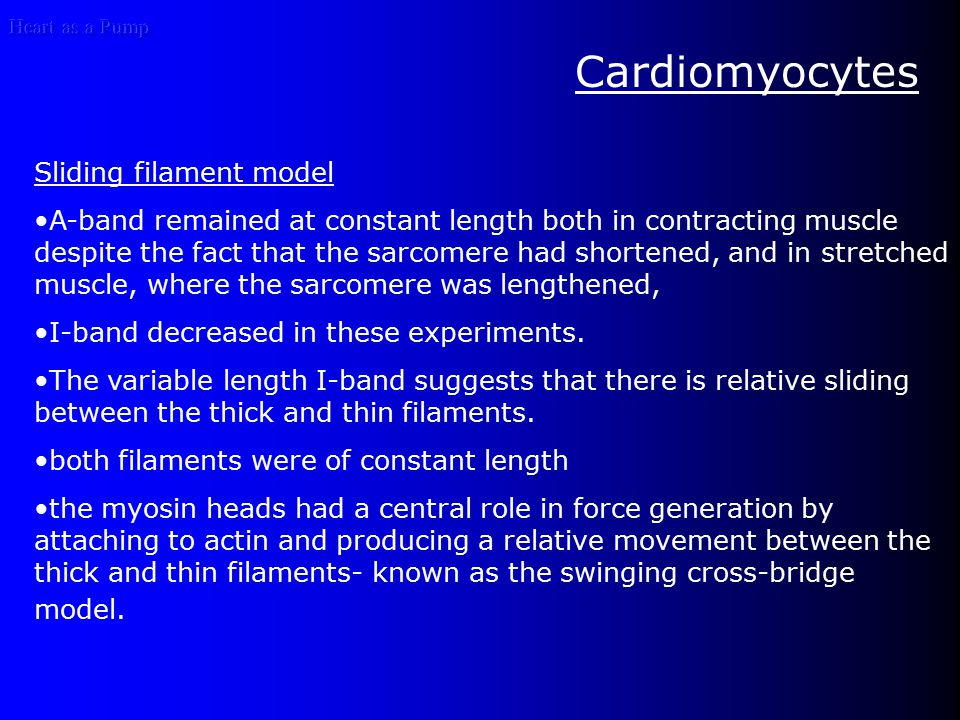 Cardiomyocytes Sliding filament model A-band remained at constant length both in contracting muscle despite the fact that the sarcomere had shortened, and in stretched muscle, where the sarcomere was lengthened, I-band decreased in these experiments.