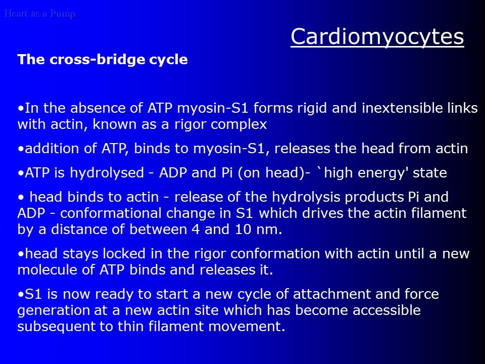 Heart as a Pump Cardiomyocytes The cross-bridge cycle