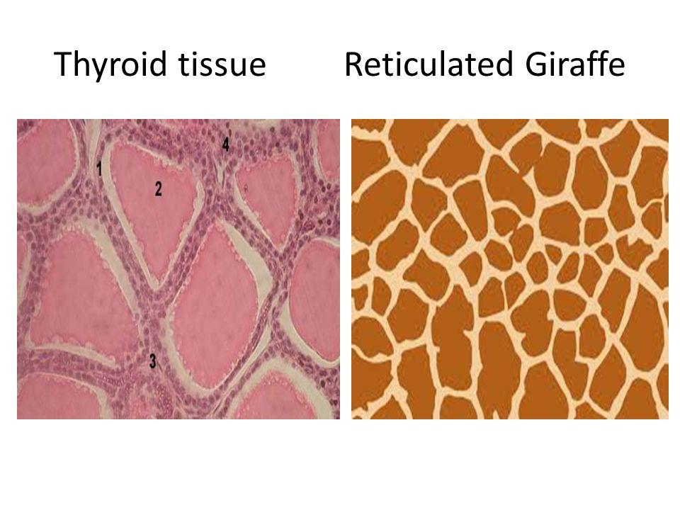 Thyroid tissue Reticulated Giraffe