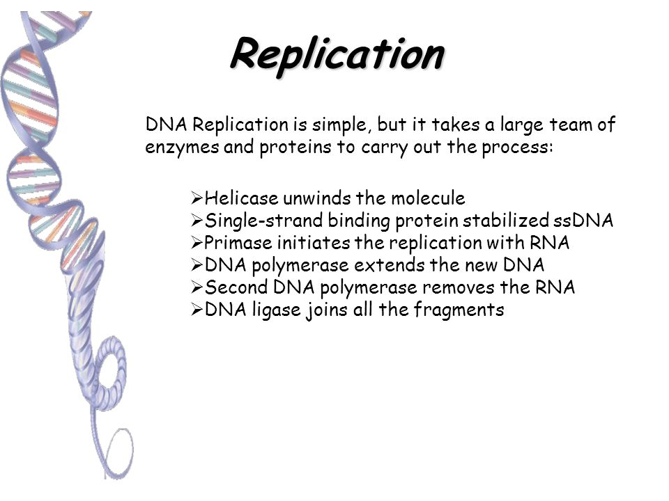 Replication Before replication, the parent DNA molecule has 2 complementary strands First the 2 strands separate Each old strand serves as a template to determine the order of the nucleotides in the new strand Nucleotides are connected to form the backbone; now have 2 identical DNA molecules.