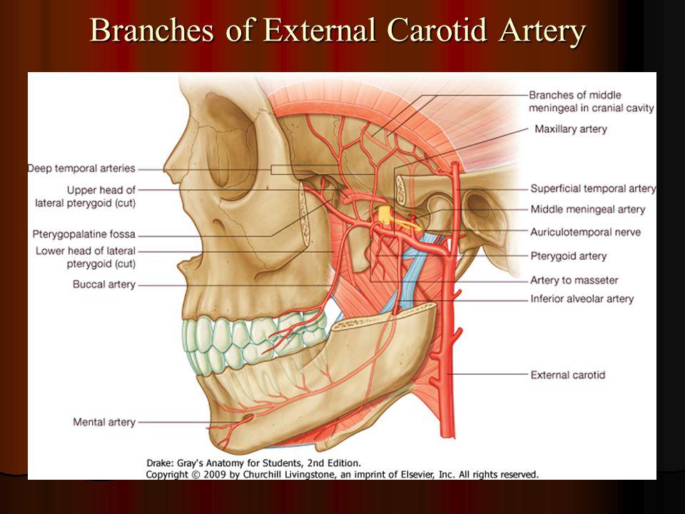 Branches of External Carotid Artery