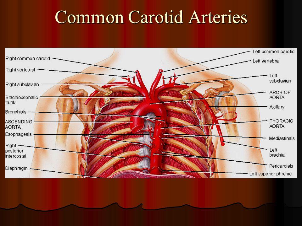 Common Carotid Arteries