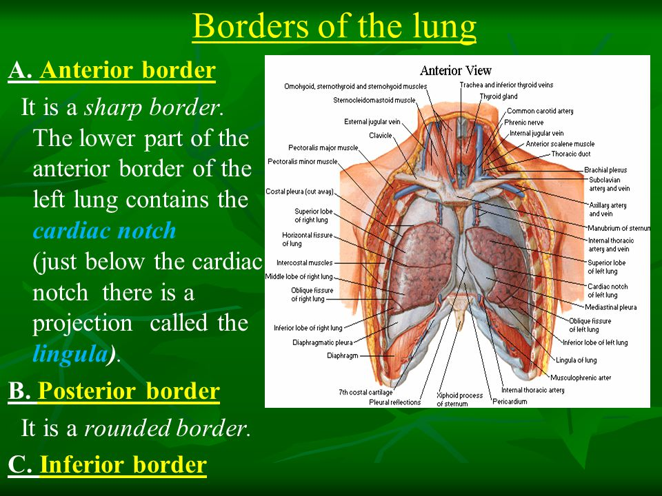 Borders of the lung A.Anterior border It is a sharp border.