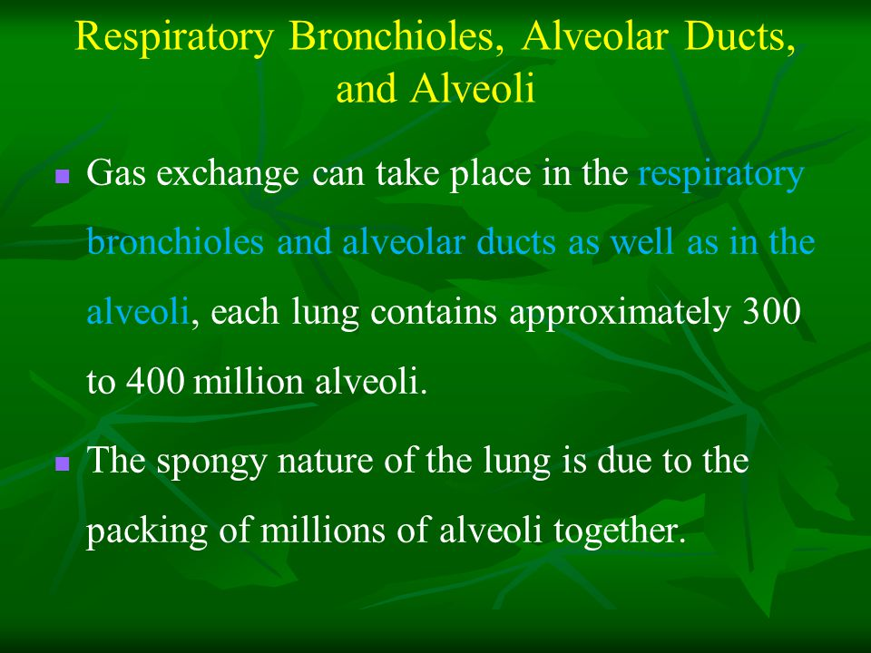 Respiratory Bronchioles, Alveolar Ducts, and Alveoli Gas exchange can take place in the respiratory bronchioles and alveolar ducts as well as in the alveoli, each lung contains approximately 300 to 400 million alveoli.