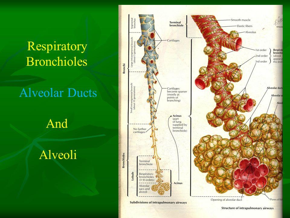 Respiratory Bronchioles Alveolar Ducts And Alveoli