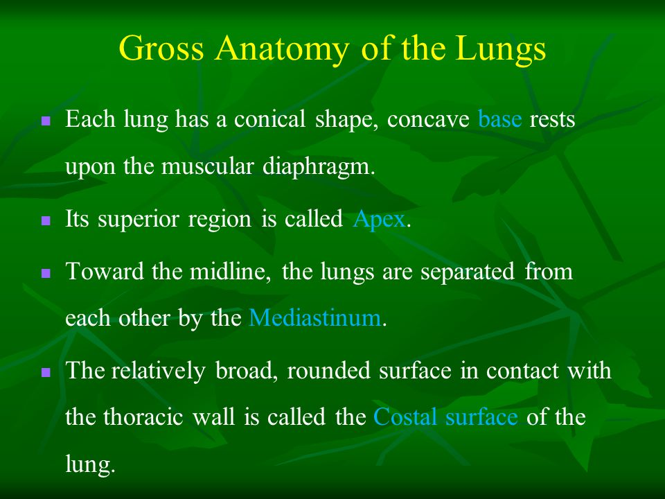 Gross Anatomy of the Lungs Each lung has a conical shape, concave base rests upon the muscular diaphragm.