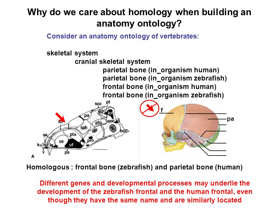 Why do we care about homology when building an anatomy ontology? Consider an anatomy ontology of vertebrates: skeletal system cranial skeletal system