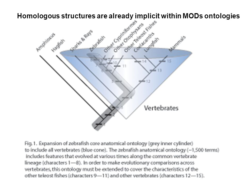 Homologous structures are already implicit within MODs ontologies
