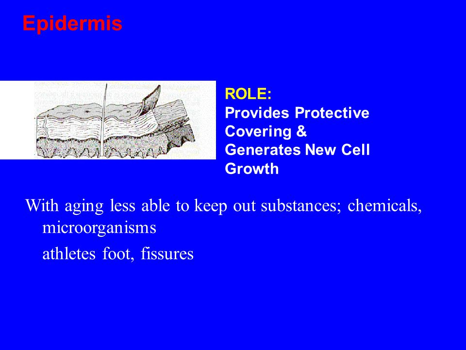 E Epidermis PIDERMIS With aging less able to keep out substances; chemicals, microorganisms athletes foot, fissures ROLE: Provides Protective Covering & Generates New Cell Growth