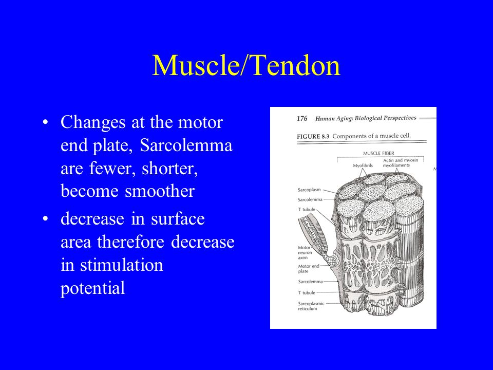 Muscle/Tendon Changes at the motor end plate, Sarcolemma are fewer, shorter, become smoother decrease in surface area therefore decrease in stimulatio