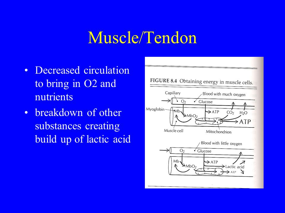 Muscle/Tendon Decreased circulation to bring in O2 and nutrients breakdown of other substances creating build up of lactic acid