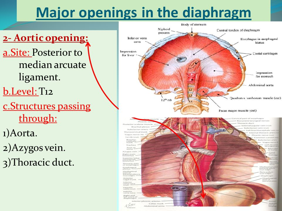 Major openings in the diaphragm 2- Aortic opening: a.Site: Posterior to median arcuate ligament. b.Level: T12 c.Structures passing through: 1)Aorta. 2