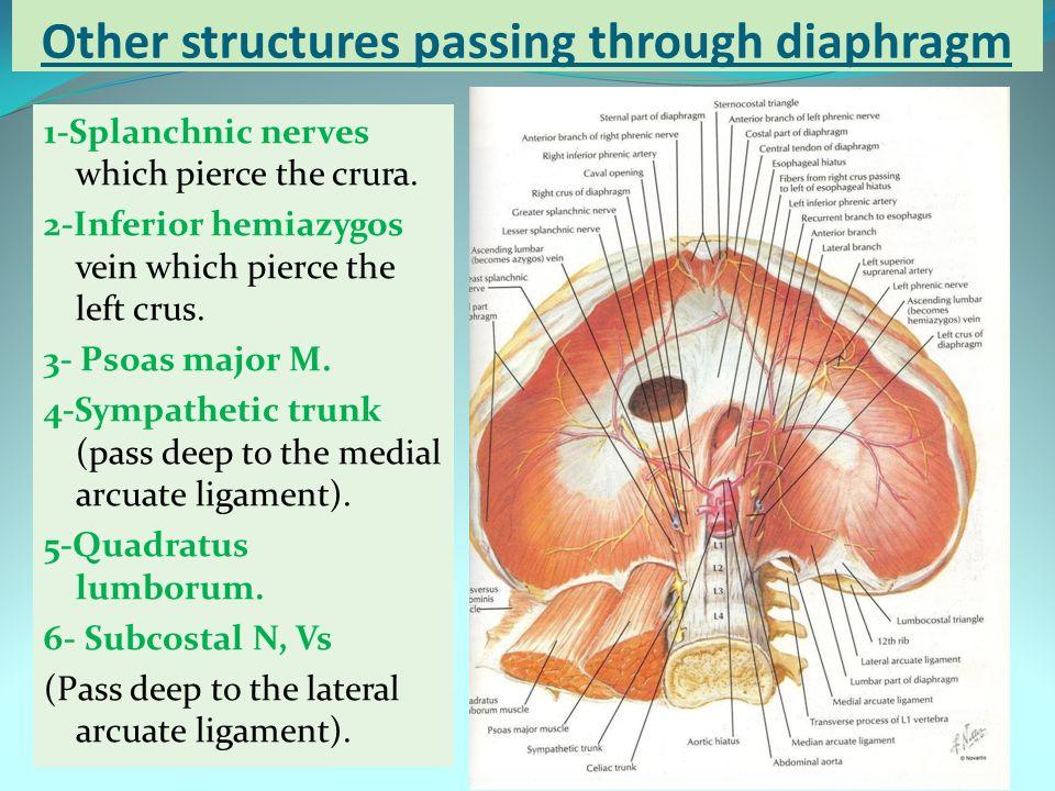 Other structures passing through diaphragm 1-Splanchnic nerves which pierce the crura. 2-Inferior hemiazygos vein which pierce the left crus. 3- Psoas