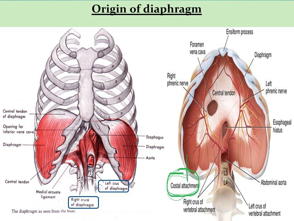 Origin of diaphragm