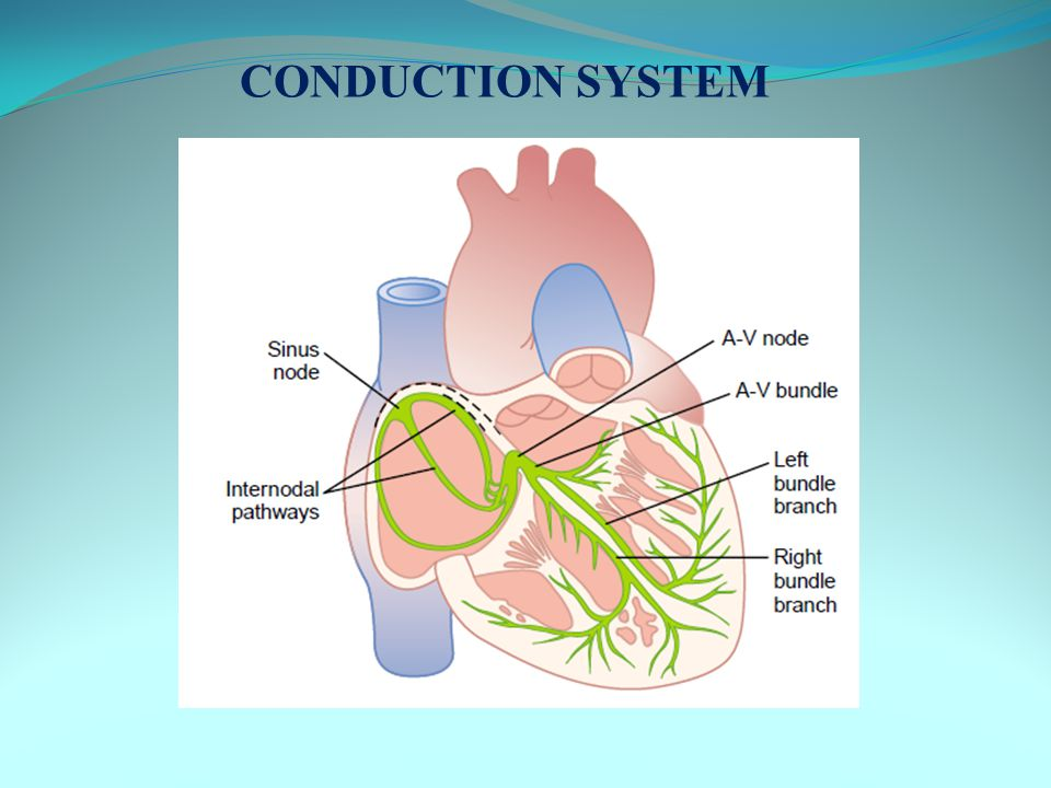 ISOVOLUMETRIC CONTRACTION Increase in ventricular pressure > atrial pressure → AV valves close After 0.02s, semilunar valves open Period between AV valve closure and semilunar valve opening → contraction occurs without emptying Tension develops without change in muscle length