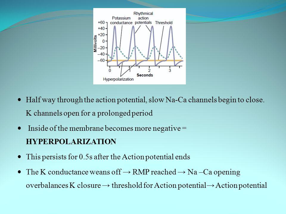 Self–excitation & AP Recovery of AP Resting Memb Potential Hyperpolarisation SINO ATRIAL NODE