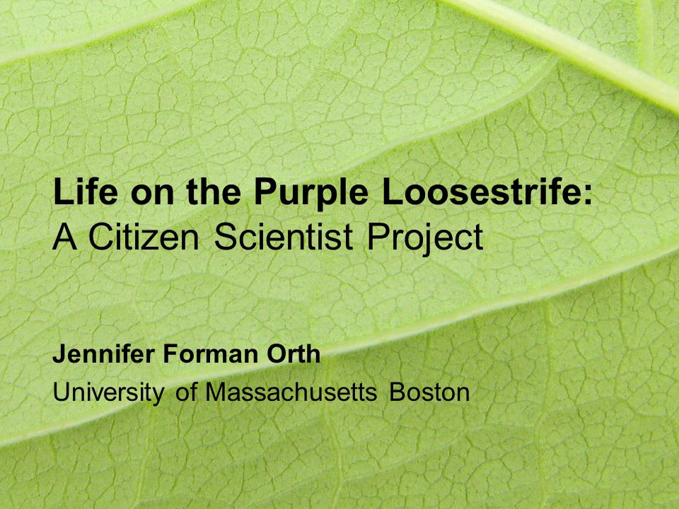Life on the Purple Loosestrife: A Citizen Scientist Project Jennifer Forman Orth University of Massachusetts Boston