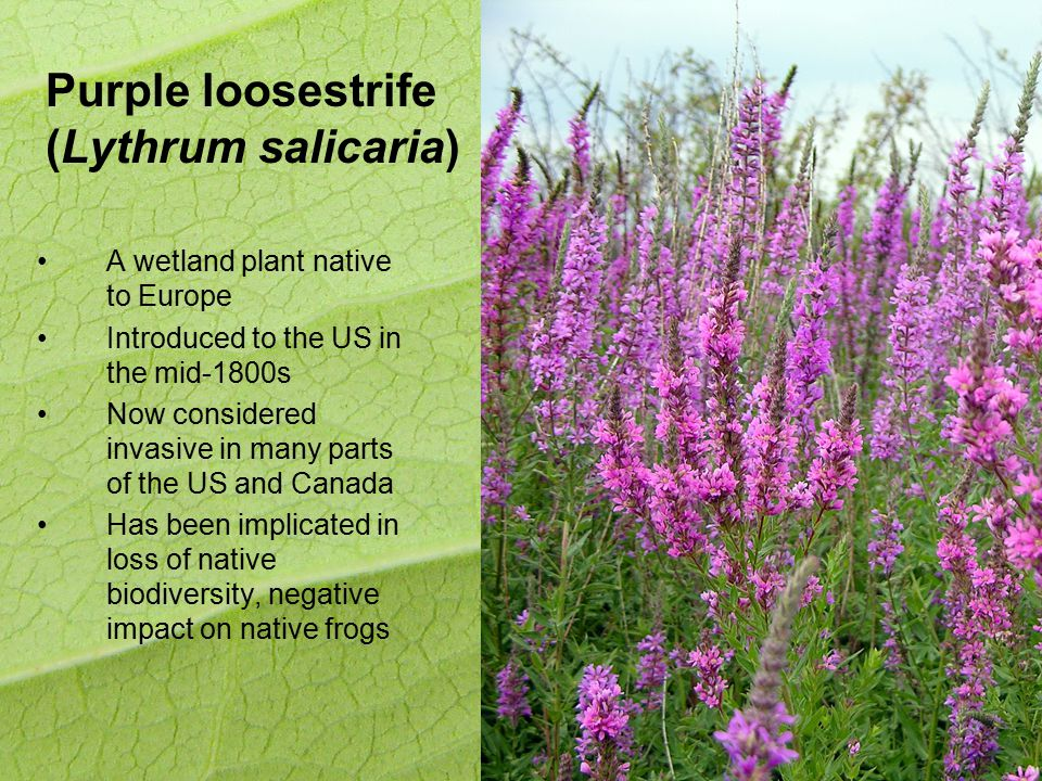 Purple loosestrife (Lythrum salicaria) A wetland plant native to Europe Introduced to the US in the mid-1800s Now considered invasive in many parts of