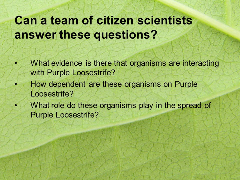 Can a team of citizen scientists answer these questions? What evidence is there that organisms are interacting with Purple Loosestrife? How dependent