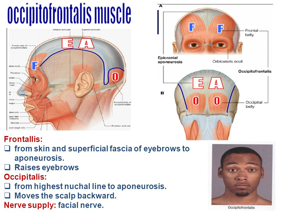 Frontallis:  from skin and superficial fascia of eyebrows to aponeurosis.  Raises eyebrows Occipitalis:  from highest nuchal line to aponeurosis. 