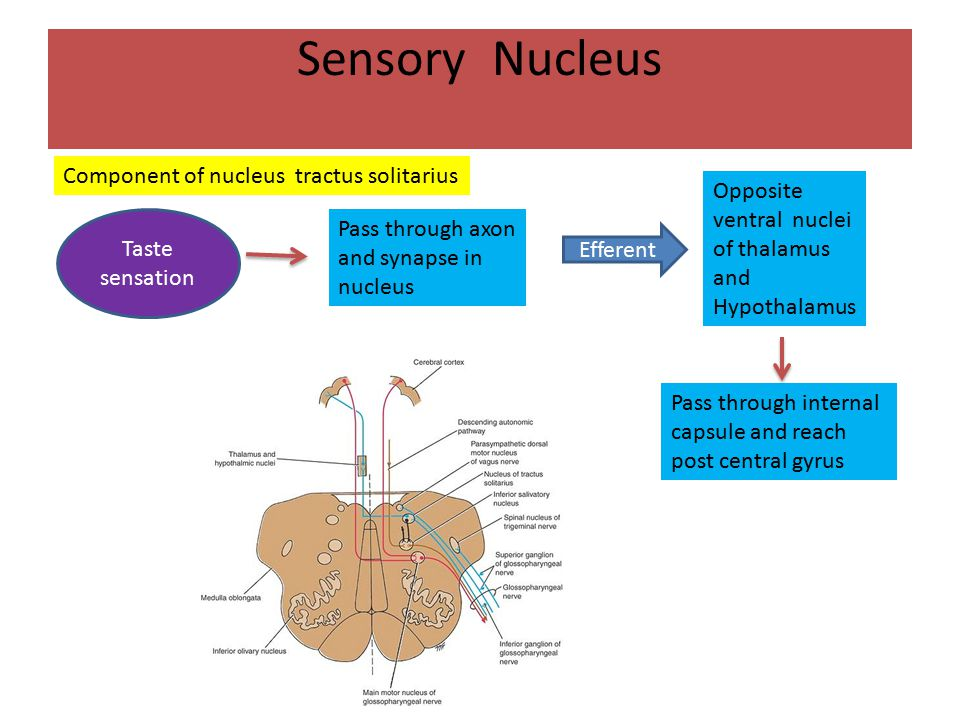 Sensory Nucleus Afferent information common sensation enters the brainstem through the superior ganglion of the glossopharyngeal nerve and ends in the spinal nucleus of the trigeminal nerve Afferent impulses from the carotid sinus, a baroreceptor situated at the bifurcation of the common carotid artery, also travel with the glossopharyngeal nerve.