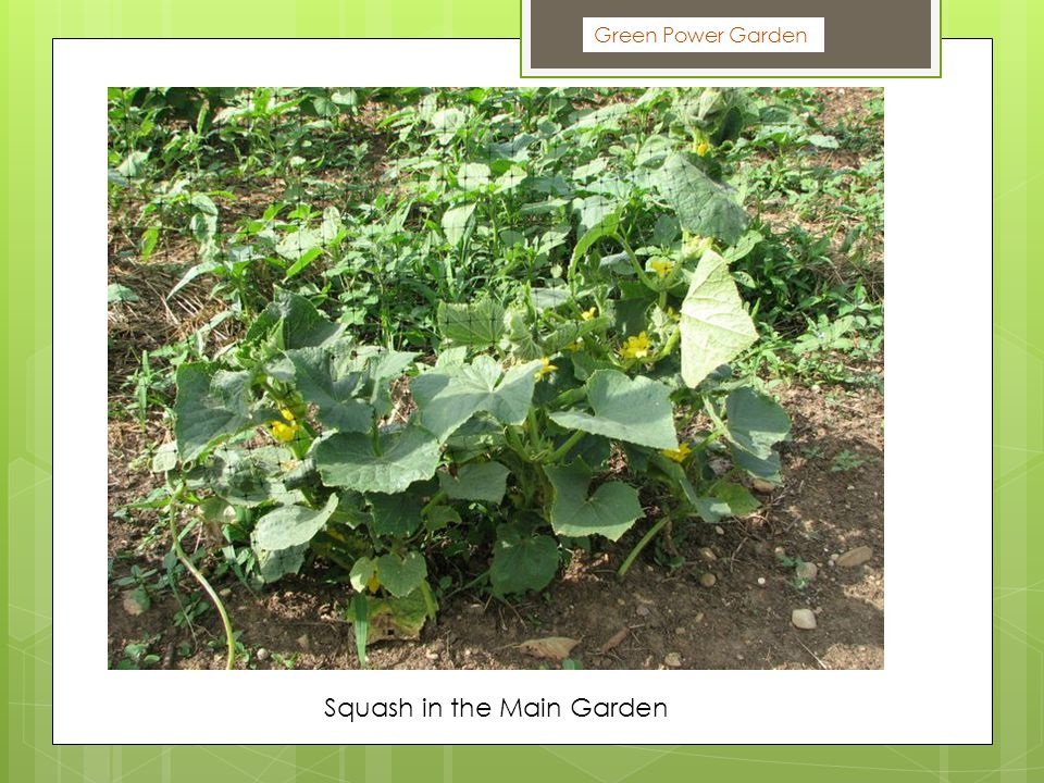 Green Power Garden Squash in the Main Garden
