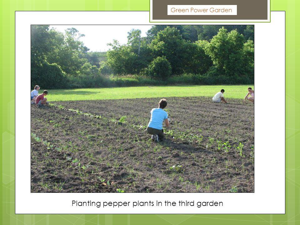 Green Power Garden Planting pepper plants in the third garden