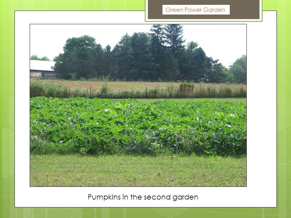 Green Power Garden Pumpkins in the second garden