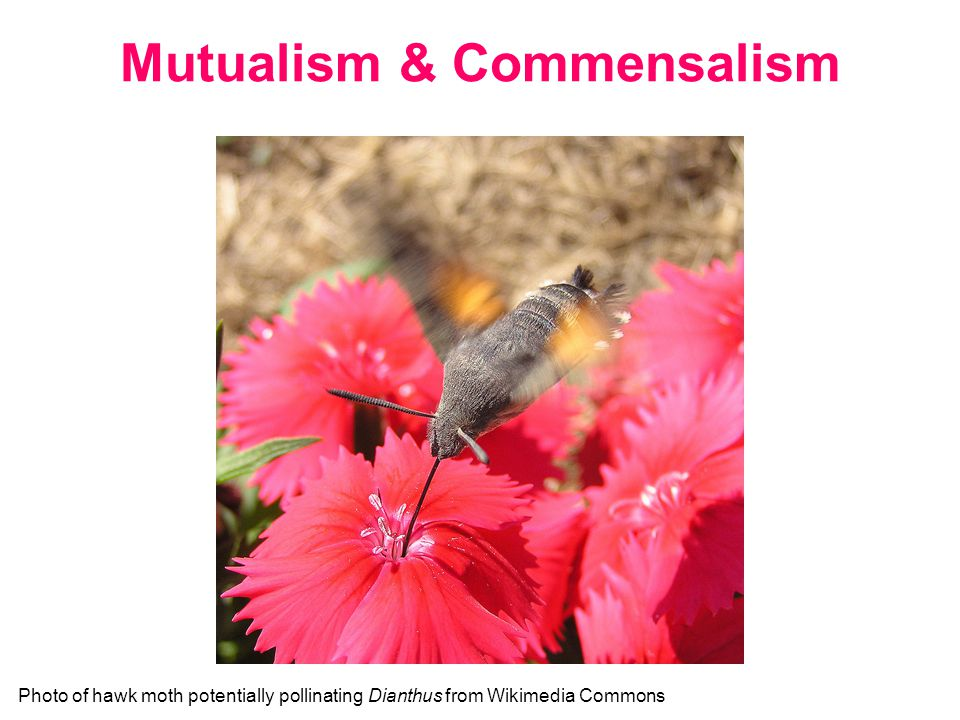 Facilitation – in other words, + means benefits outweigh costs Commensalism = +/0 Mutualism = +/+ Positive Interactions Photo of hawk moth potentially pollinating Dianthus from Wikimedia Commons What might the benefits and costs be to each partner in a pollination mutualism?