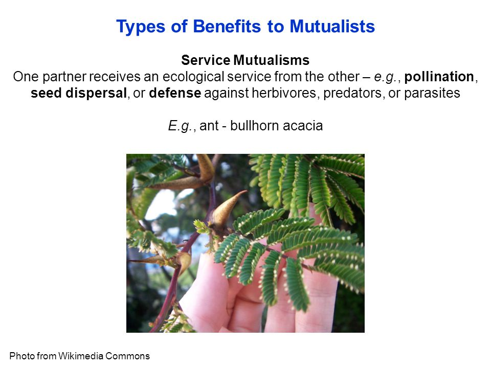 Types of Benefits to Mutualists Photo from Wikimedia Commons Service Mutualisms One partner receives an ecological service from the other – e.g., pollination, seed dispersal, or defense against herbivores, predators, or parasites E.g., ant - bullhorn acacia