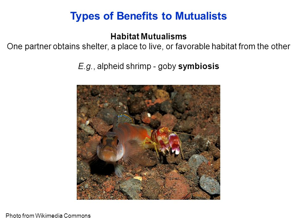 Types of Benefits to Mutualists Photo from Wikimedia Commons Habitat Mutualisms One partner obtains shelter, a place to live, or favorable habitat from the other E.g., alpheid shrimp - goby symbiosis