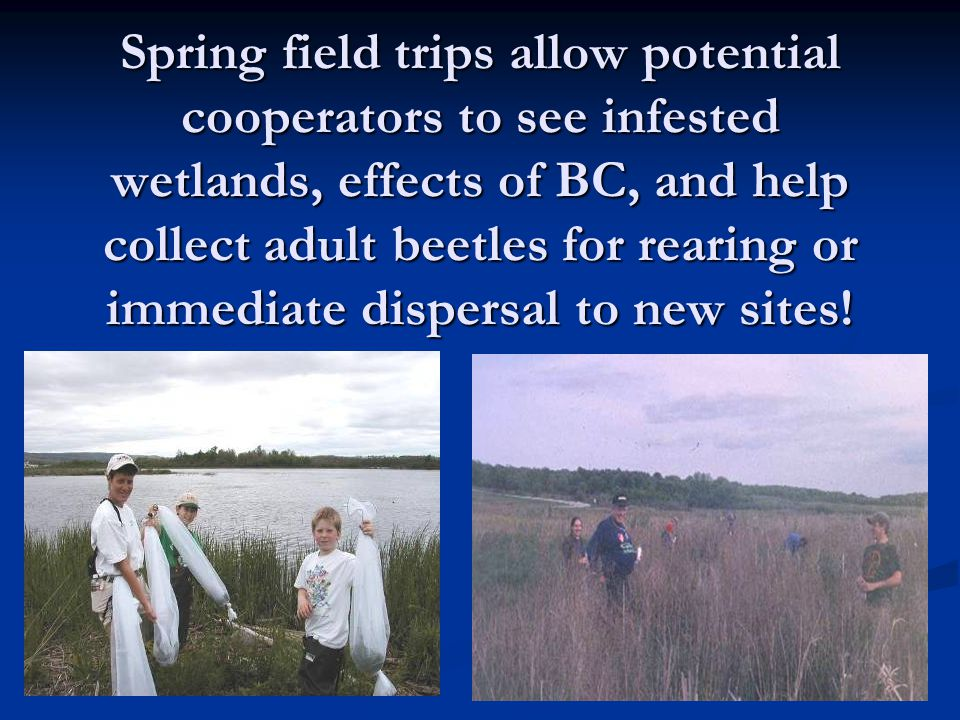 Spring field trips allow potential cooperators to see infested wetlands, effects of BC, and help collect adult beetles for rearing or immediate dispersal to new sites!